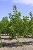 image of pecan tree  - Pecan nut tree on a farm on the blue sky background - JPG