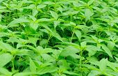 pic of sting  - stinging nettles plants in growth in garden - JPG