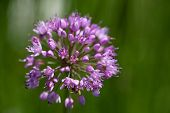 single lilac flower of blooming allium in garden on green background