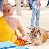 Buddhist monk with a bengal tiger at the Tiger Temple Kanchanaburi Thailand