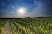 picture of gladiola  - Sword flowers field with early dusk in the summer in Germany - JPG