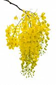 pic of cassia  - Purging Cassia or Ratchaphruek flowers  - JPG