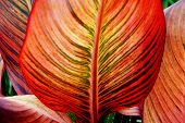 Canna Leaf Closeup