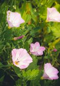 Bindweed flowers stretch to the sun