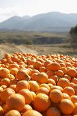 Heap of oranges in farm