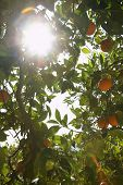 Low angle view of sun shining through orange tree