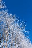 Closeup Of Branches Of A Snow Winter Tree
