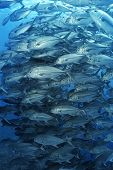 foto of bigeye  - Large school of bigeyed trevally fish - JPG