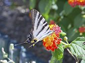 scarce swallowtail, Iphiclides podalirius