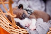 Newborn basenji puppy