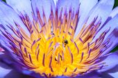 Stingless bee on waterlily flower