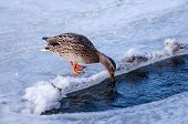 Female Mallard Duck Drinking Water On Ice.