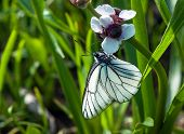 Black-veined White Butterfly On A White Flower
