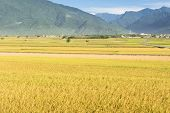Rural scenery of paddy farm in Chishang Township, Taitung County, Taiwan, Asia.