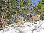 Two mule deer foraging in snow