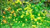 Kumquat And Flowers
