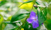 Periwinkle Leaves