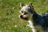 Yorkshire Dog Small Pet