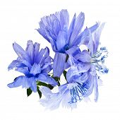 image of chicory  - Blue chicory flower isolated  on a white background - JPG