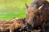 View of an Wild boar with cub