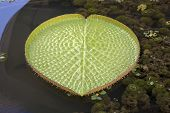 Giant Amazonian Water Lily Pads Closeup