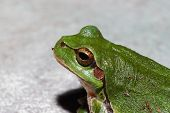 image of orange frog  - green tree frog sits and looks close detail view - JPG