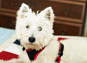 foto of west highland white terrier  - West Highlands terrier in portrait horizontal image - JPG