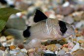 Corydoras Fish