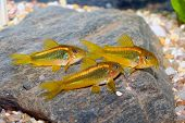 Corydoras Fishes