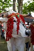 stock photo of cash cow  - An image of Cow harnessed to the wagon  - JPG