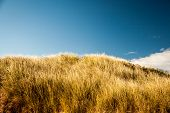 picture of dune grass  - Beach grass on a sand dune in Prince Edward Island - JPG