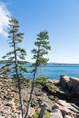 Two Pines On Rocky Coast Near Bar Harbor