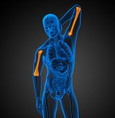 stock photo of humerus  - 3d render medical illustration of the humerus bone  - JPG