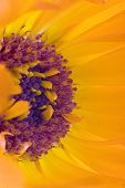 Orange flower(Calendula) interior