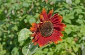 Sunflower in red.