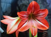 pic of lily  - Red amaryllis flower - JPG