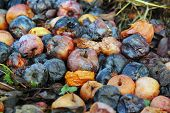 image of rotten  - many rotten apples lie on the ground - JPG