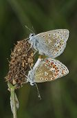 foto of ribwort  - Common Blue - Polyommatus icarus