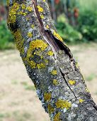Tree Trunk With Yellow Moss Fungus