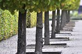 stock photo of linden-tree  - Alley of linden trees in autumn park - JPG