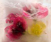 Frozen   Flower Of       Aquilegia, Geranium