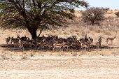 Herd Of Springbok Hiding Under A Big Acacia
