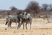 Zebras In African Bush
