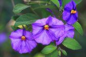 Blue potato bush, Solanum rantonnetii