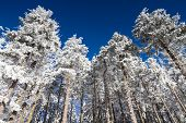 Pines Covered In Snow Under A Blue Sky