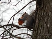 Постер, плакат: snacking squirrel