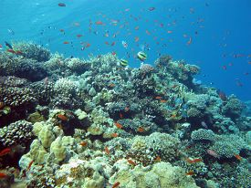 picture of fire coral  - coral reef with hard and fire coral and exotic fishes at the bottom of tropical sea - JPG
