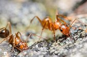 foto of ant  - Red and Orange Ant drinking Sugar Water - JPG
