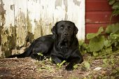 image of seeing eye dog  - Beautiful black Labrador Retriever lying down in front of an old barn - JPG