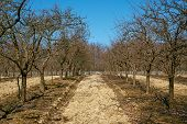 stock photo of orchard  - Orchard with plum trees on springtime after the pruning activity - JPG